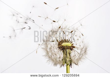 Close up of grown dandelion and dandelion seeds iisolated on white background
