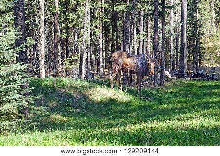 picture of a moose calf in Kananaskis,Alberta,Canada.