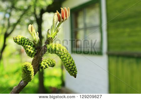 flowers of walnut on the branch of tree in the spring
