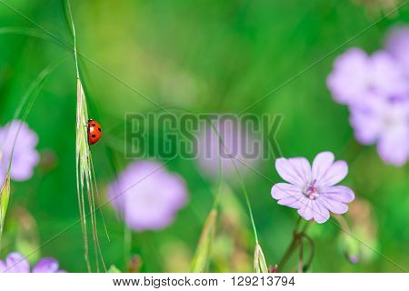Ladybird in the nature of flowers in springtime