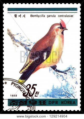 STAVROPOL RUSSIA - APRIL 30 2016: a stamp printed in DPRK shows Bombycilla garrulous centralasiae Birds series circa 1988