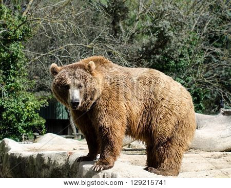 brown grizzly bear is standing on four paws