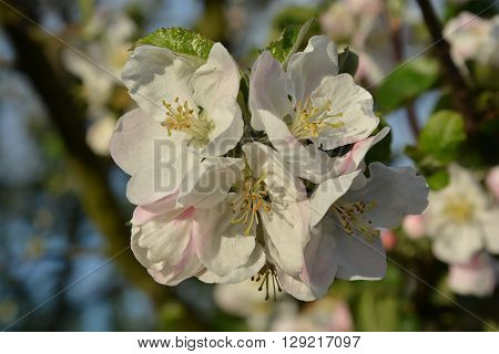 flowers, apple blossom, spring, tree, blossom, flowers on the tree, flower