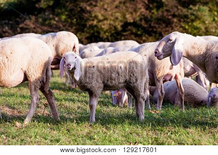 White Sheeps In The Countryside