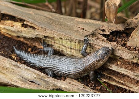 Closeup of Gidgee spiny tailed skink crawling on dried log in Australia