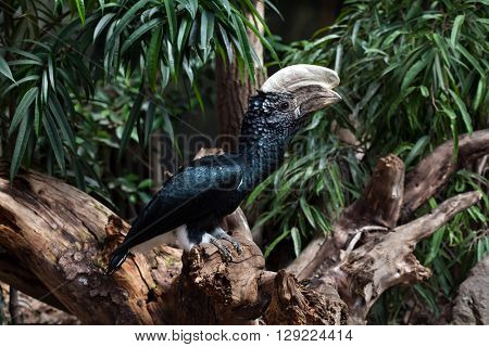 Silvery-cheeked hornbill (Bycanistes brevis). Wild life animal.