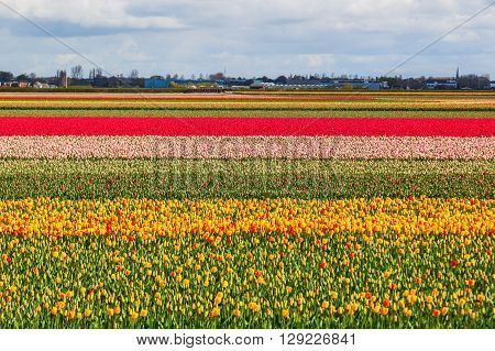 colorful field with tulips near Lisse Netherlands