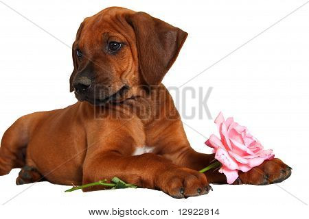 Rhodesian ridgeback puppy with rose