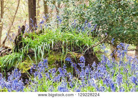 Blossom Bluebell flowers on fallen Tree Trunk