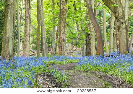 Empty Forest Road Among Old Maple Trees and Bluebell Flowers Meadow