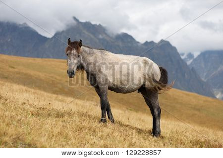Grey horse in a pasture in the mountains. Caucasus, Georgia, Zemo Svaneti