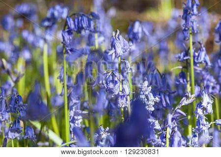 Spring Bluebell Flowers Meadow Close Up View