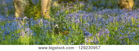 Spring Meadow Bluebell Flowers in Morning Light Panoramic View