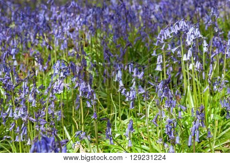 Wild Spring Meadow with Blooming Bluebell Flowers