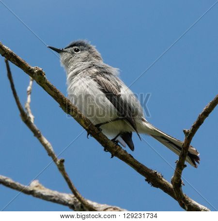 Blue-gray Gnatcatcher (Polioptila caerulea) perched on a branch
