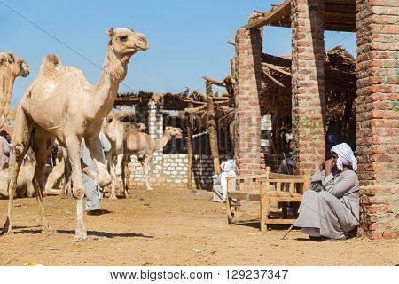DARAW, EGYPT - FEBRUARY 6, 2016: Local camel salesman sitting by the ruined house at Camel market.