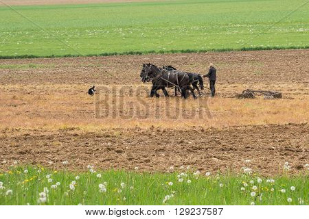 Amish man plowing a field with a team of horses