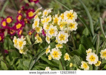 primrose blooming in spring day close up
