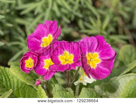 purple primrose blooming in spring day close up