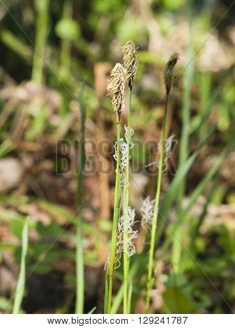 Blooming Black or common sedge Carex nigra close-up with bokeh background selective focus shallow DOF