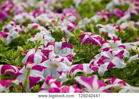 Image full of colourful petunia Petunia hybrida flowers.