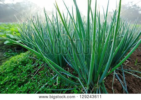 green spring onion in growth at vegetable garden