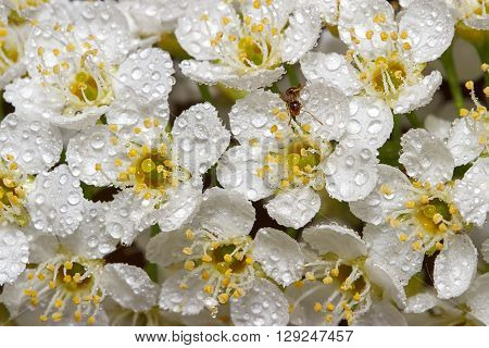 closeup blooming cherry tree (lat.Prunus padus) after rain and ant.  Natural background