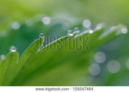closeup strawberry leaf with dew drop in the early morning