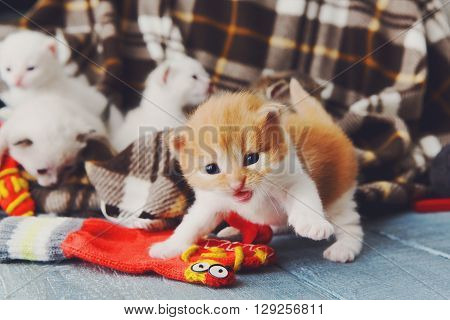 Kittens and mittens. White and Red newborn kittens in a plaid blanket. Sweet adorable tiny kittens on a serenity blue wood background play with mitten. Funny kittens crawling and meowing