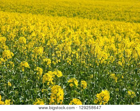 Yellow field of rape plant, used for making canola oil or adding in biofuel, yellow background