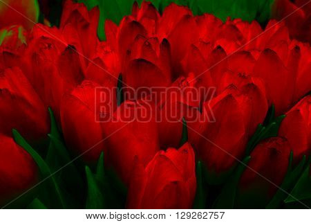 tulips beautiful tulips. abstract background of red tulips fire.