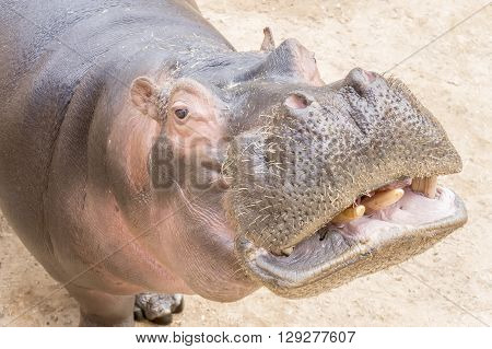Hippopotamus amphibius, resting relaxed and waiting something