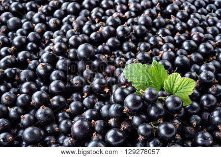 Heap of black currant. Fresh organic berries macro. Fruit background