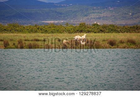 Camargues horses in the nature reserve of the Isonzo river mouth