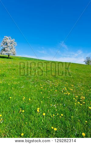 Solitary Flowering Tree Surrounded by Sloping Meadows in Switzerland
