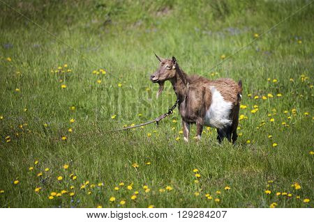 goat grazing in a meadow with dandelions