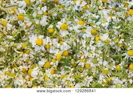 Background Of Harvested Chamomile Flowers Dosage