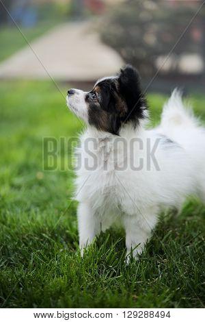Puppy breeds Papillon on the green grass