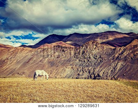 Vintage retro effect filtered hipster style image of horse grazing in Himalayas. Rupshu Valley, Ladakh, India