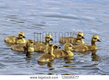 A group of Canada Geese goslings swimming together on a pond.