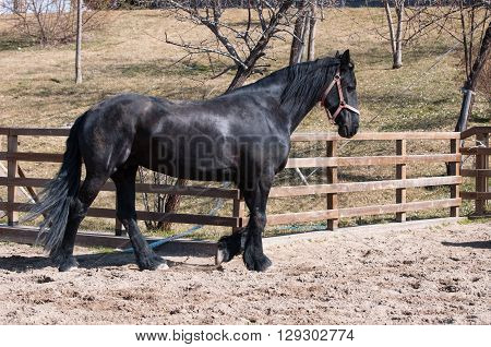 Running black friesian horse as horse training.