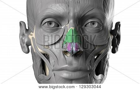 human anatomy 3D head model with face muscles