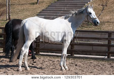 white horse in the horse training farm