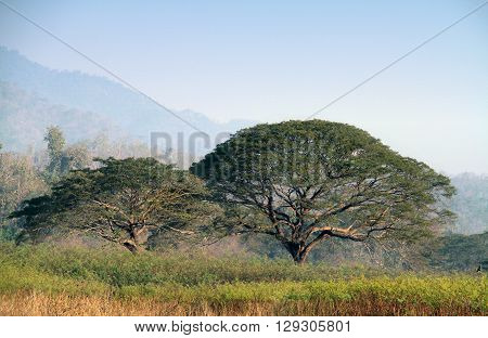 Big rain trees. , saman rain tree, monkeypod, giant thibet inga saman, cow tamarind, East Indian walnut, Albizia saman