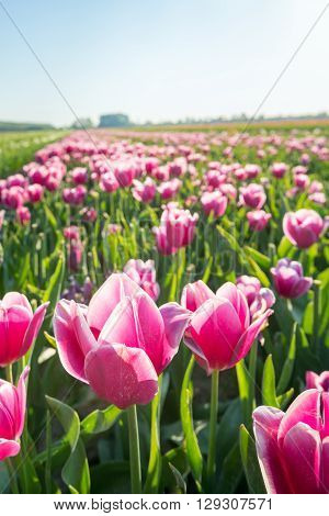 Closeup of pink and white colored blossoming and overblown tulips in a large field early in the morning. In the short term the tulip flower heads will be cut by the grower so the tulip bulbs grow better.