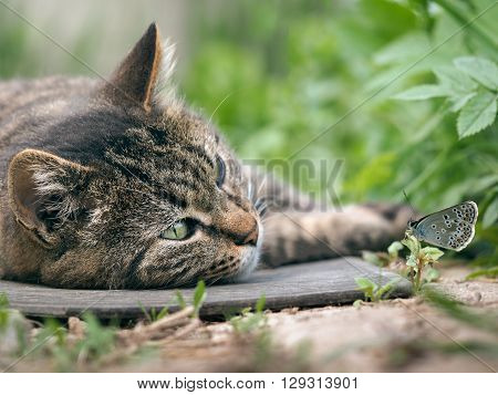 Big cat lying on the ground and watching a butterfly. Luxury cat, striped. Beautiful cat resting. Butterfly sitting on the grass next to a cat