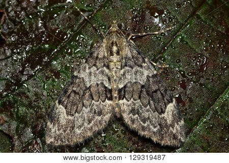 Spruce carpet moth (Thera britannica). British insect in the family Geometridae the geometer moths