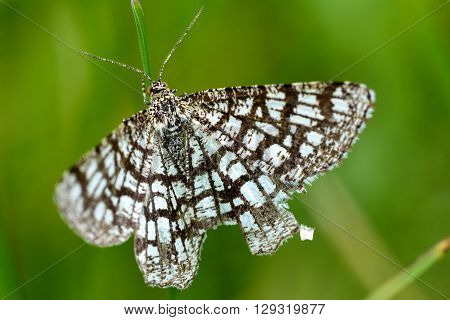 Latticed heath (Semiothisa clathrata) day-flying moth. British insect in the family Geometridae the geometer moths