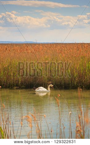 Swan floating in the nature reserve of the Isonzo river mouth