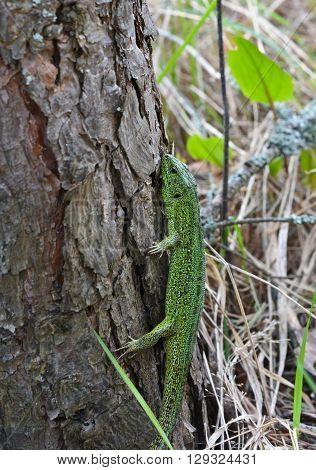 Green lizard in the national Park Meschersky. The emerald lizard on a pine tree.